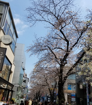 自由が丘の桜