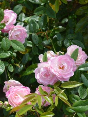 自宅のバラ,東京,自由が丘,フラワーアレンジメント教室,フラワードロップス
