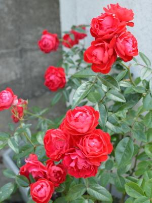 自宅のバラ,その2,東京,自由が丘,フラワーアレンジメント教室,フラワードロップス
