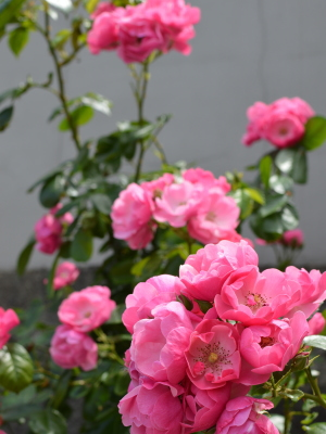 自宅のバラ,その3,東京,自由が丘,フラワーアレンジメント教室,フラワードロップス