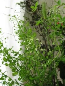 フラワーアレンジメント教室 東京 自由が丘 フラワードロップス ブログ 花 ナズナ